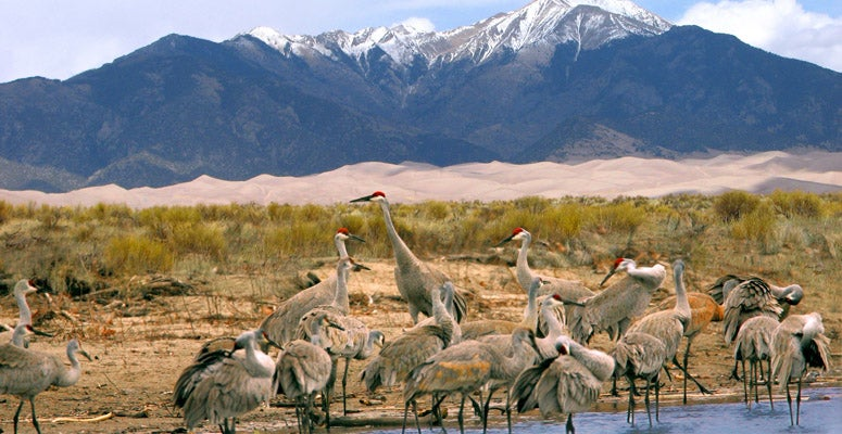 Sandhill cranes in the Upper Rio Grande watershed